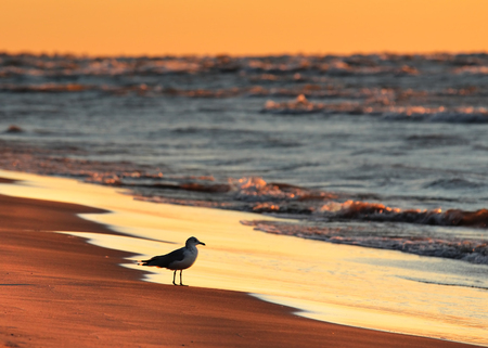 pinery: Ring-billed Gull on Lake Huron beach at sunset