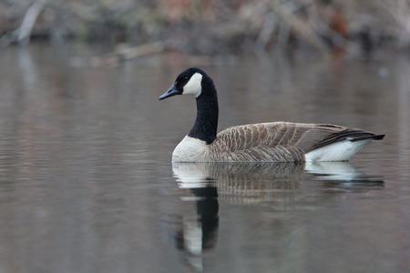 pinery: Canada Goose (Branta canadensis) Swimming on a Pond -  Ontario, Canada