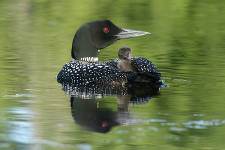 Common Loon Chick (Gavia immer)  Riding on Parent Stock Photo