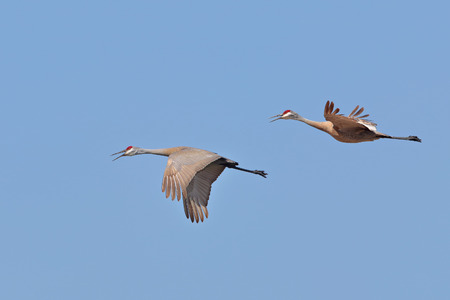 crane fly: Sandhill Cranes (Grus canadensis) in Flight in Spring - Ontario, Canada Stock Photo