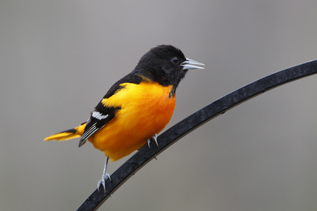 oriole: Male Baltimore Oriole Icterus galbula Calling while Perched on Wrought Iron Hanger in Spring  Ontario Canada
