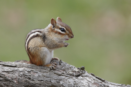 Eastern Chipmunk Tamias striatus appears to be praying as it sits on a fallen log  Ontario Canada photo
