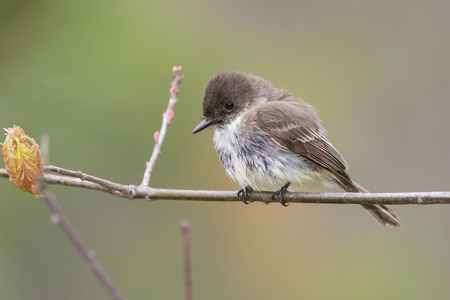 pinery: Eastern Phoebe Sayornis phoebe perched on a branch in early May  Grand Bend Ontario Canada Stock Photo
