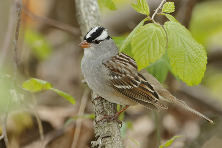 Whitecrowned Sparrow Zonotrichia leucophrys Perched on a Branch in Spring  Grand Bend Ontario Canada