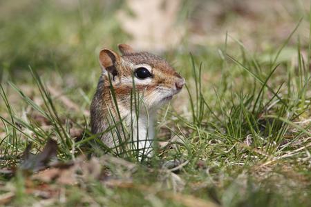burrow: Eastern Chipmunk Tamias striatus poking its head out its burrow  Grand Bend Ontario Canada