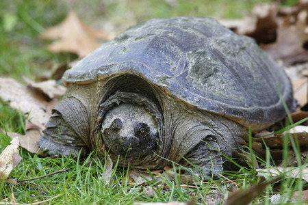 Female Common Snapping Turtle Chelydra serpentina looking for a place to lay her eggs  Ontario Canada Imagens - 40401229