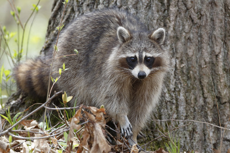 provincial: Raccoon Procyon lotor in an oak pine forest  Grand Bend Ontario Canada Stock Photo
