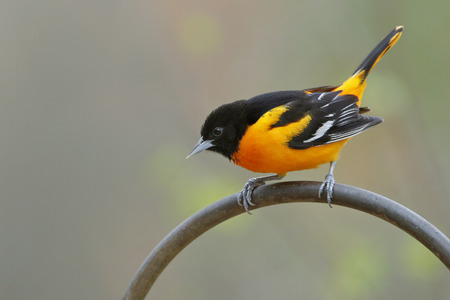 Male Baltimore Oriole Icterus galbula Perched on a Metal Hanger  Ontario Canada 免版税图像