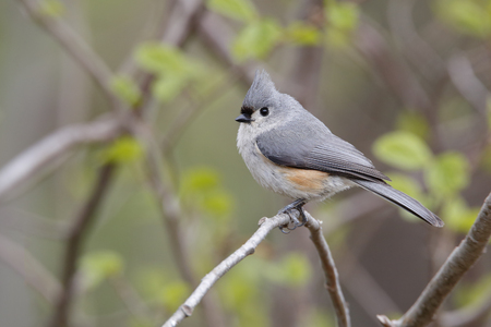 titmouse: Tufted Titmouse Baeolophus bicolor perched on a branch in an oak savanna forest in spring   Grand Bend Ontario Canada