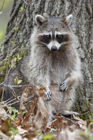 procyon: A female Raccoon Procyon lotor stands on her hind legs in a deciduous forest revealing her status as a nursing mother  Ontario Canada