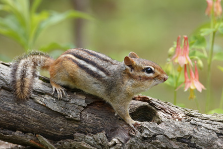 Eastern chipmunk Tamias striatus on a log next to a patch of Wild Columbine  Pinery Provincial Park Ontario Canada photo