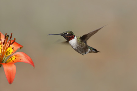 pinery: Rubythroated Hummingbird Archilochus colubris hovering next to a wood lily  Pinery Provincial Park Ontario Canada Stock Photo