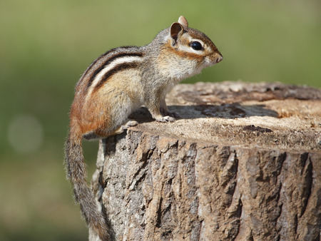 pinery: Eastern Chipmunk Tamias striatus sitting on a tree stump at a campsite  Pinery Provincial Park Ontario Canada Stock Photo