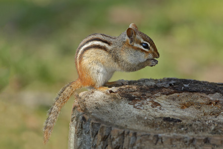 pinery: An Eastern Chipmunk Tamias striatus eats a seed from between its front paws as it sits on a tree stump at a campsite  Pinery Provincial Park Ontario Canada Stock Photo