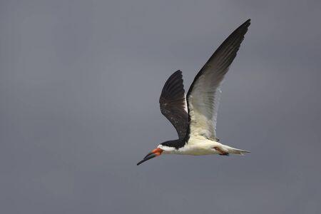 skimmer: Black Skimmer Rynchops niger in flight revealing its odd shaped bill  Bolivar Peninsula Texas Stock Photo