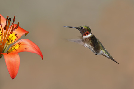 bird feathers: Rubythroated Hummingbird Archilochus colubris hovering next to a wood lily  Pinery Provincial Park Ontario Canada Stock Photo
