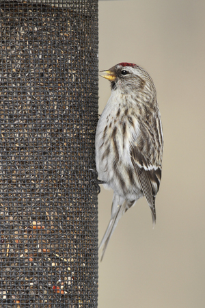 Common Redpoll Acanthis flammea feeding at a nyjer seed feeder Grand Bend Ontario Canada 免版税图像