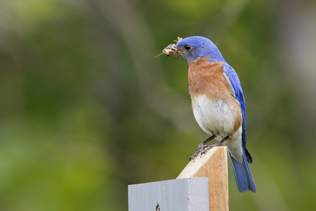 eastern bluebird: Male Eastern Bluebird Sialia sialis with a Grasshopper in its beak to feed to its offspring - Ontario, Canada Stock Photo