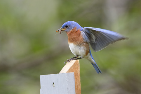 spider: Male Eastern Bluebird Sialia sialis lands on a post with a spider in its beak. The spider will be used to feed its offspring - Ontario, Canada