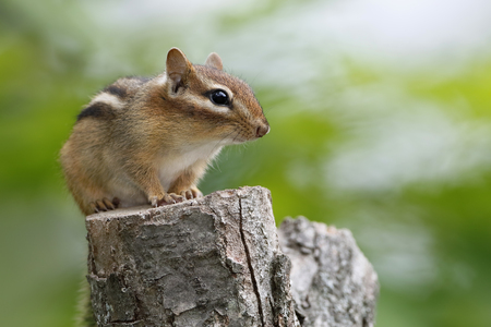 pinery: Eastern Chipmunk Tamias striatus sitting on a tree stump - Ontario, Canada Stock Photo