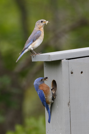 남성과 여성 동부 Bluebirds 그들의 부리 - 온타리오, 캐나다, 봄에 곤충과 Nestbox에서 Sialia sialis 스톡 콘텐츠