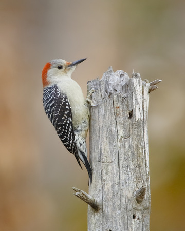 pinery: Female Red-bellied Woodpecker Melanerpes carolinus on a Dead Tree Stump - Ontario, Canada