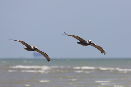 gulf of mexico: Pair of Brown Pelicans Pelecanus occidentalis Soaring Over the Gulf of Mexico in Spring - Bolivar Peninsula, Texas