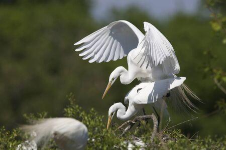 copulate: Great Egrets Ardea alba Copulating at their Nest - High Island, Texas