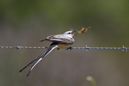 barbed wire fence: Male Scissor-tailed Flycatcher Tyrannus forficatus Perched on a Barbed Wire Fence Eating a Locust - Texas