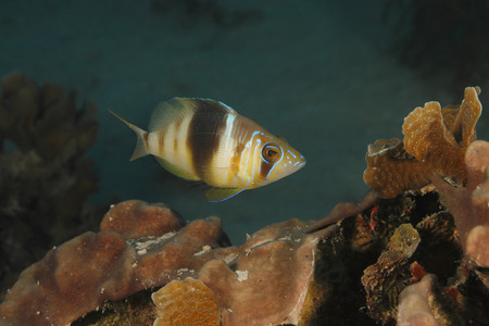 bonaire: Barred Hamlet Hypoplectrus puella swimming over a coral reef - Bonaire, Netherlands Antilles Stock Photo