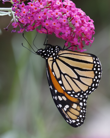 danaus: Monarch Butterfly Danaus plexippus Feeding on Nectar From a Butterfly Bush - Ontario, Canada Stock Photo