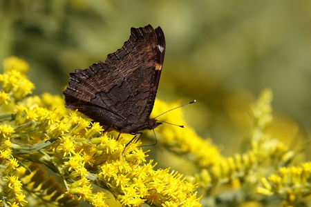 mutualism: Milberts Tortoiseshell Aglais milberti Obtaining Nectar from a Goldenrod Stock Photo