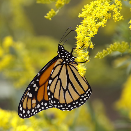 mutualism: A Monarch Butterfly Danais plexippus fuels up on nectar from a Canada Goldenrod in September to prepare for its southward migration to Mexico - Grand Bend, Ontario, Canada