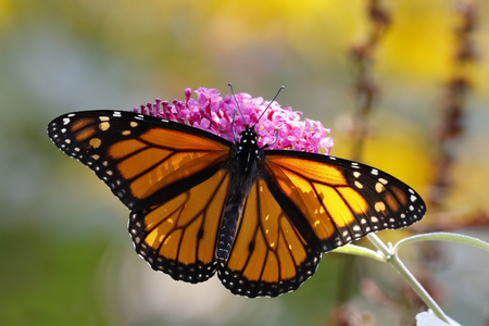mutualism: A Monarch Butterfly Danais plexippus obtaining nectar from a butterfly bush - Grand Bend, Ontario, Canada Stock Photo