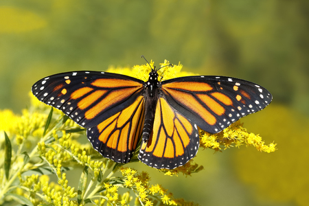 plexippus: A Monarch Butterfly Danais plexippus fuels up on nectar from a Canada Goldenrod in September to prepare for its southward migration to Mexico - Grand Bend, Ontario, Canada
