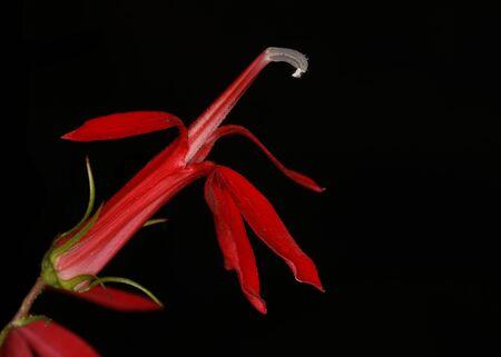 lobelia: Closeup of Cardinal Flower Lobelia cardinalis - Pinery Provincial Park, Ontario, Canada