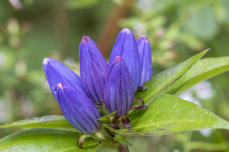 pinery: Closeup of a Closed Gentian Gentiana andrewsii Blooming in Mid September- Pinery Provincial Park, Ontario, Canada Stock Photo