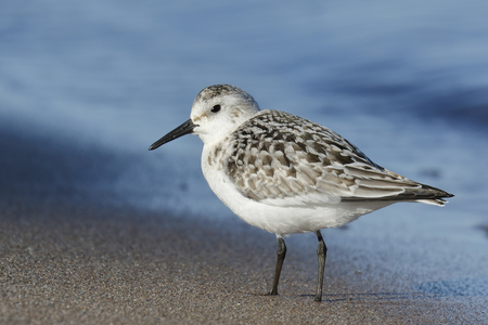pinery: Juvenile Sanderling Calidris alba on a Lake Huron Beach in September - Pinery Provincial Park, Ontario, Canada