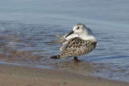 A juvenile Sanderling Calidris alba preens its feathers on a migratory stop along a Lake Huron beach in September - Pinery Provincial Park, Ontario, Canada