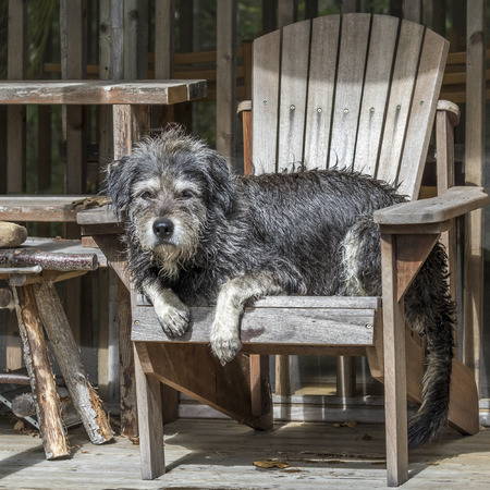 A large gray shaggy-haired mixed-breed dog relaxes in a wooden chair after a busy day at the cottage - Haliburton, Ontario, Canada