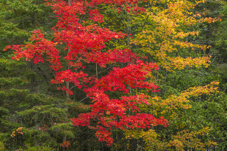 provincial forest parks: Vibrant Colors of Sugar Maples (Acer saccharum) in Fall - Algonquin Provincial Park, Ontario, Canada
