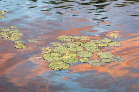 ontario: Lily Pads at Sunset - Haliburton, Ontario, Canada Stock Photo