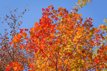 acer saccharum: The brilliant red and orange leaves of a Sugar Maple tree (Acer saccharum) contrast against a deep blue sky - Algonquin Provincial Park, Ontario, Canada Stock Photo