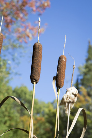 cattails: Cattails in Autumn - Ontario, Canada Stock Photo