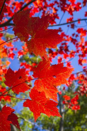sugar maple: Sugar Maple Leaves Backlit Against a Blue Sky in Autumn - Ontario, Canada