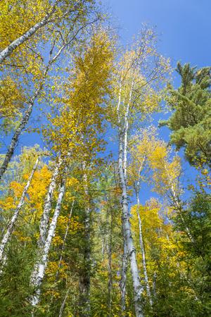 betula: White Birch Trees (Betula papyrifera) in Autumn Against a Blue Sky - Silent Lake Provincial Park, Ontario, Canada