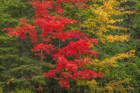 acer saccharum: Vibrant Colors of Sugar Maples (Acer saccharum) in Fall - Algonquin Provincial Park, Ontario, Canada