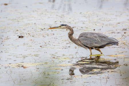 herodias: A Great Blue Heron (Ardea herodias) stalks its prey in a marsh in mid October - Algonquin Provincial Park. Ontario, Canada