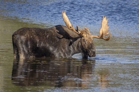 provincial forest parks: Bull Moose Alces alces with a Large Set of Antlers Foraging at the Edge of a Lake in Autumn - Algonquin Provincial Park, Ontario, Caanda