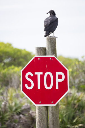 turkey vulture: Turkey Vulture Cathartes aura Perched on a Stop Sign Stock Photo